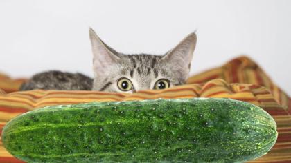 De ce se tem pisicile de castraveți?