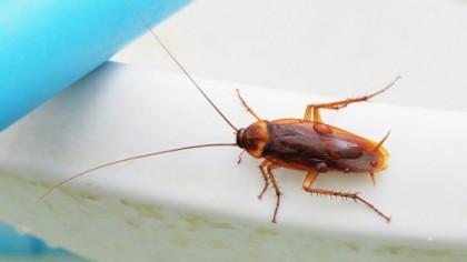 Ce s-ar întâmpla dacă ar dispărea gândacii de bucătărie?
