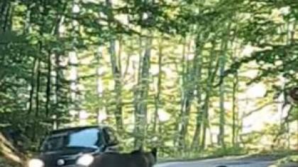 Video. Un șofer a incercat să lovească o ursoaică care se afla pe o șosea alături de puiul ei