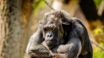Fix ca oamenii! Ce fac cimpanzeii când moare un apropiat?
